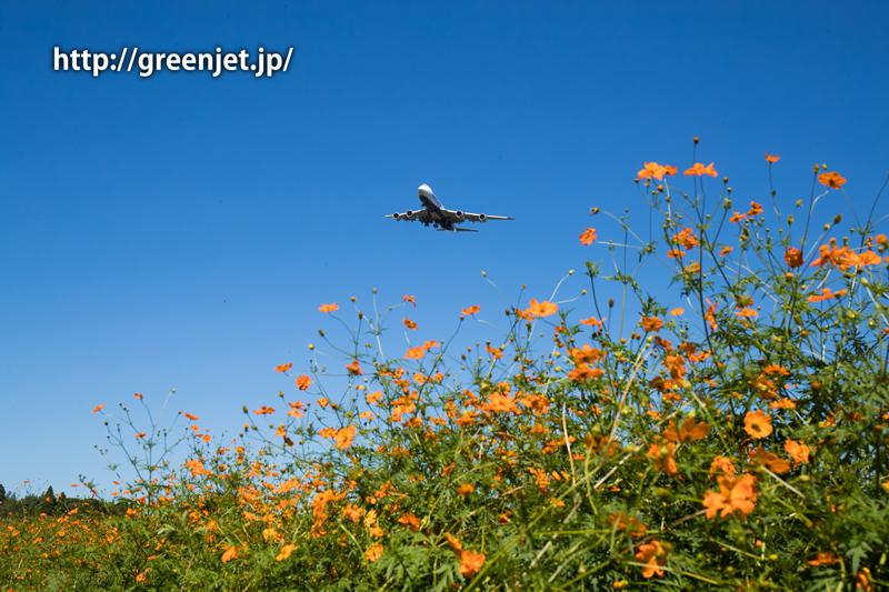 成田 オレンジコスモスと日本カーゴのボーイング747