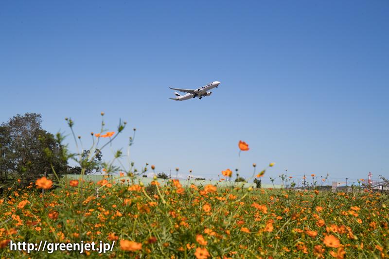成田 オレンジコスモスとフィンエアーのエアバスA330