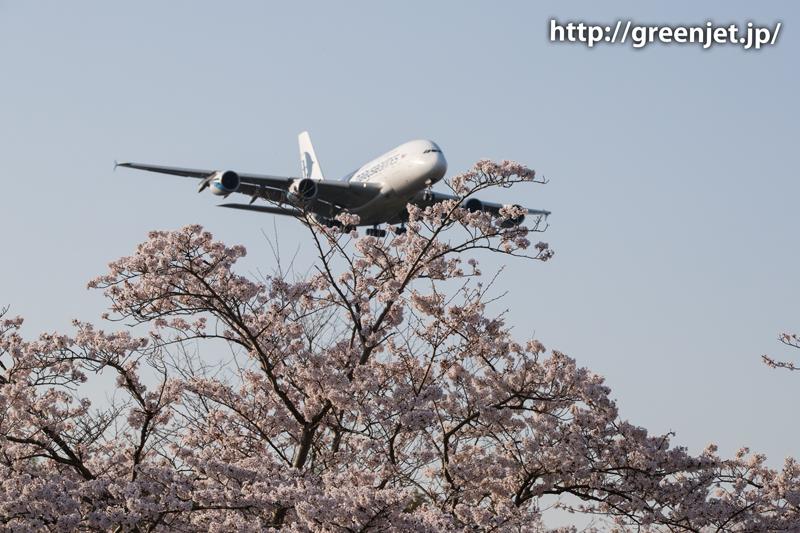 マレーシア航空のA380@桜満開の芝山水辺の里