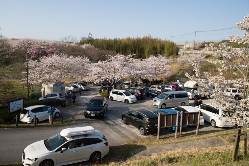 満車の駐車場@桜満開の芝山水辺の里