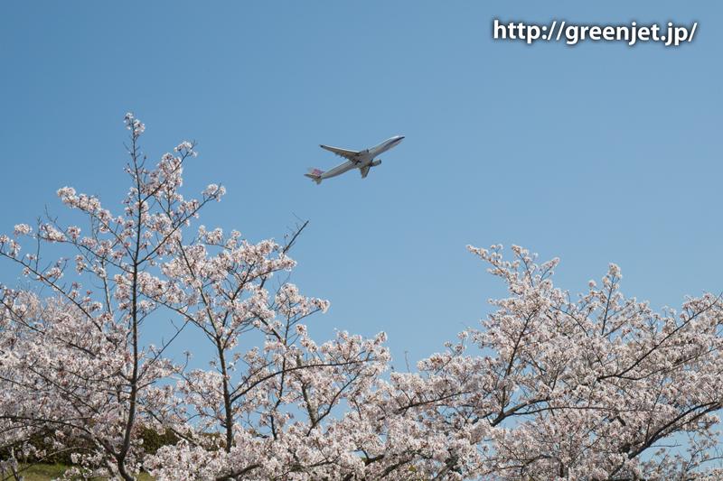 チャイナエアラインのA330@桜満開のさくらの丘