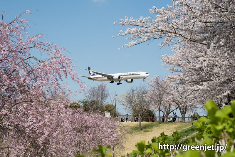 シンガポール航空のB777@桜満開のさくらの山