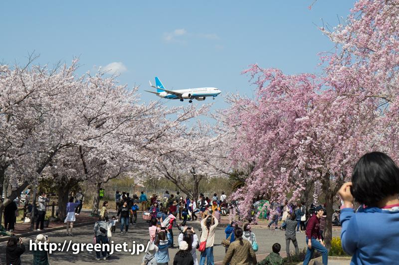 シァメンのB737@桜満開のさくらの山