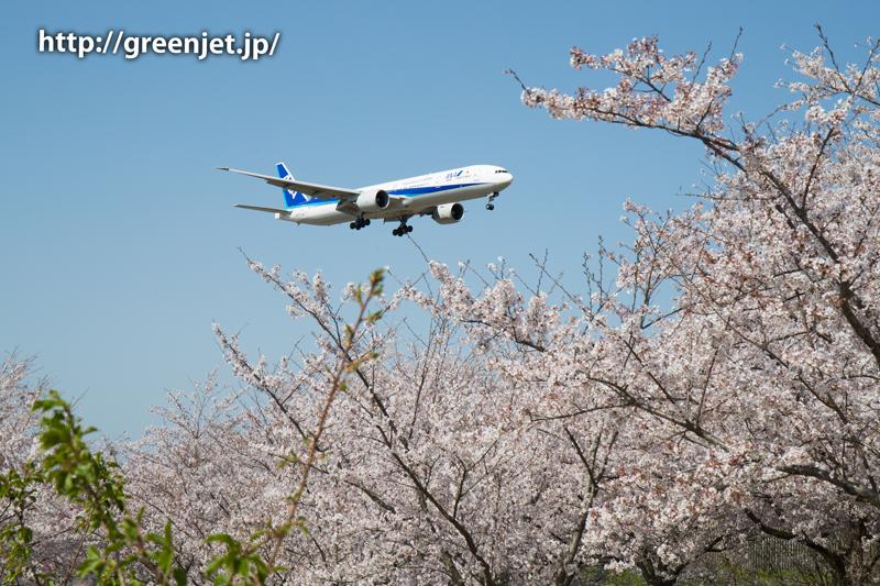 ANAのB777@桜満開のさくらの山