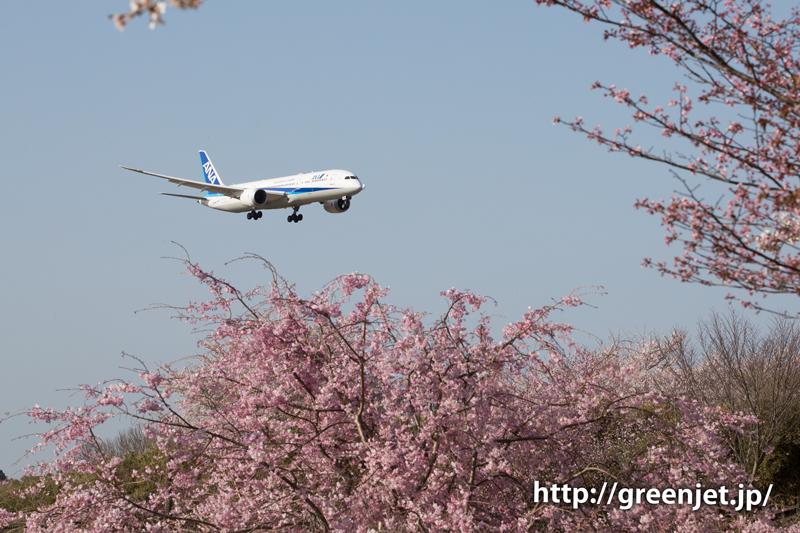 ANAのB787@桜満開のさくらの山