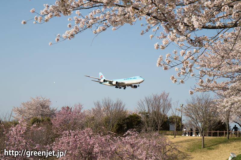 大韓航空のB747@桜満開のさくらの山