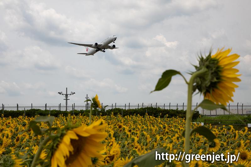 飛行機と向日葵/JALのB787