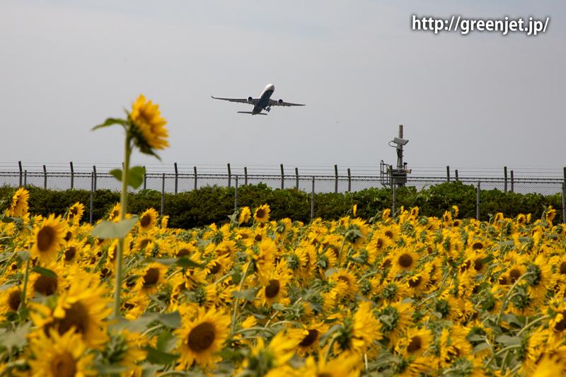 飛行機と向日葵/エバー航空のA330