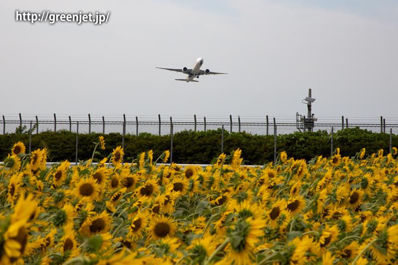 飛行機と向日葵/シンガポール航空のB777