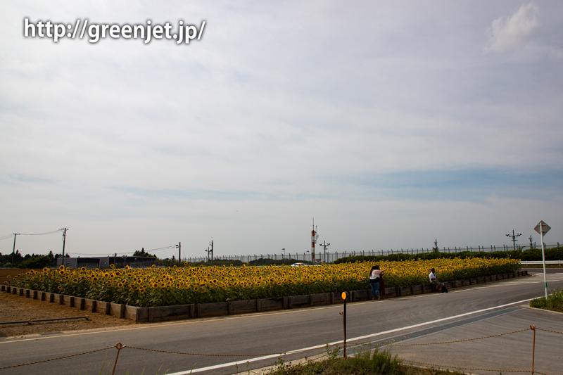 ひこうきの丘駐車場の向日葵