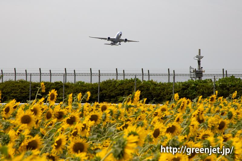 飛行機と向日葵/チャイナエアラインのA350
