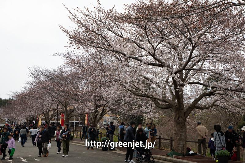 もうちょいで満開ですね。今年の成田・さくらの山の桜