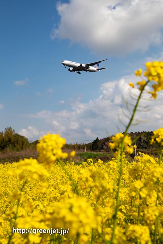 菜の花とユナイテッド航空のB777
