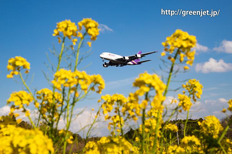 菜の花とタイ国際航空のA380
