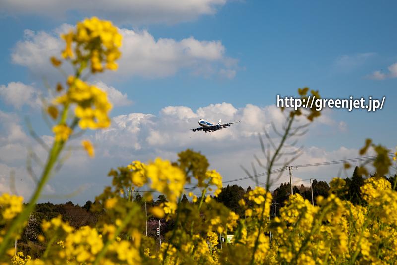 菜の花とAirBridgeCargoのジャンボ