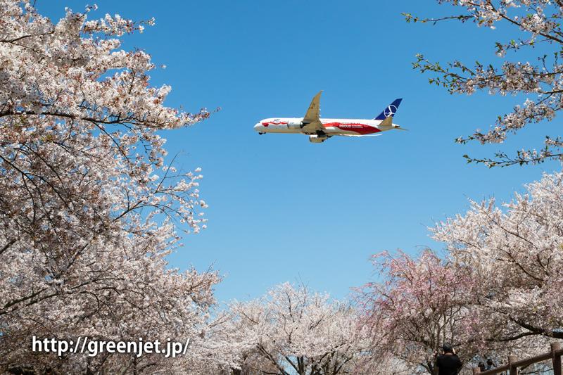 満開の桜!さくらの山にて飛行機と