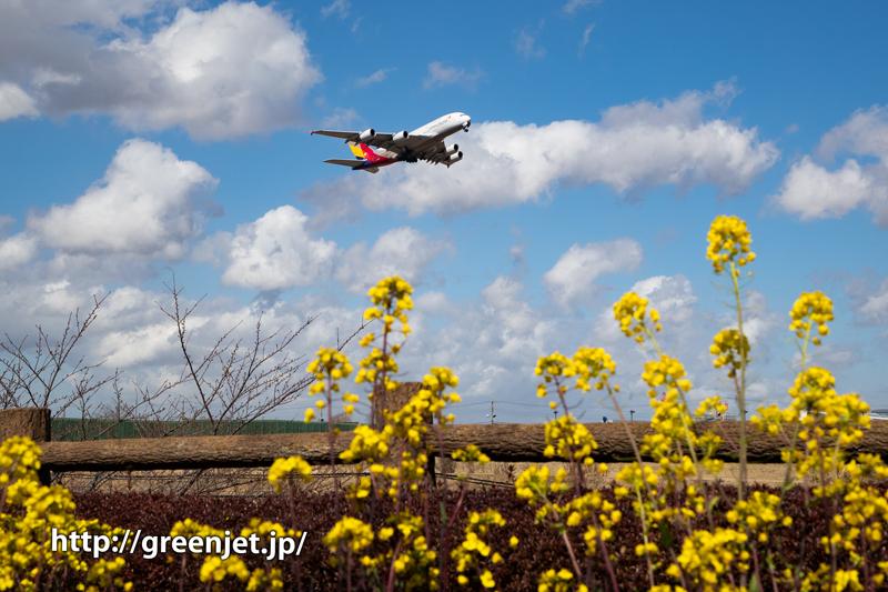 菜の花と飛行機の16R上がり@成田