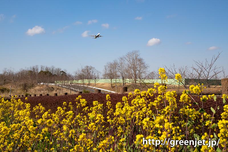 菜の花と飛行機~エバーB787の上がり!