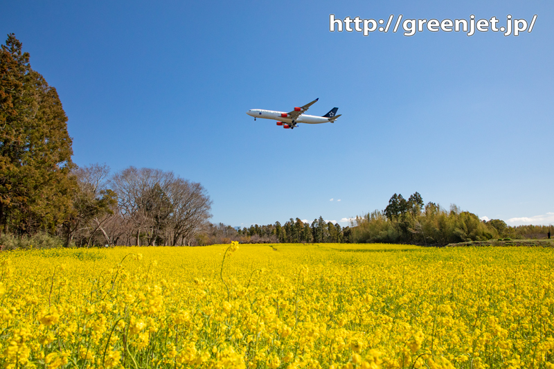 菜の花と飛行機@SASのA340