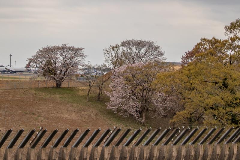 奥の細道で撮る桜と飛行機写真~成田