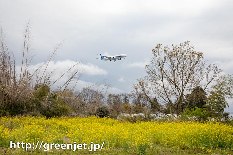 菜の花と飛行機~成田~いい場所見つけた