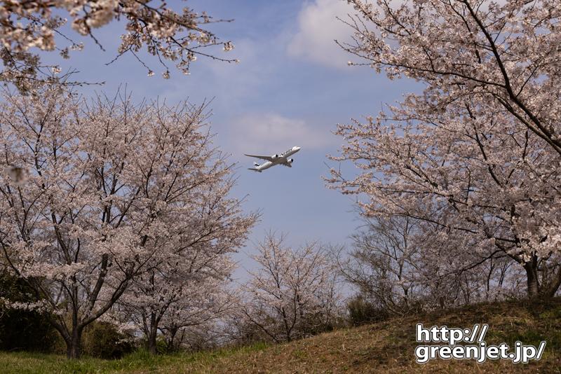 成田で飛行機~桜とA350最高のマッチアップ