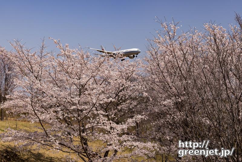 成田で飛行機~桜の向こうから飛行機が飛び出す