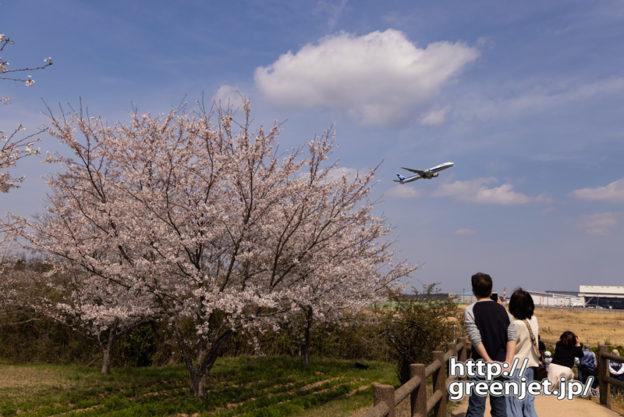 成田で飛行機~大きな桜の向こうから飛行機