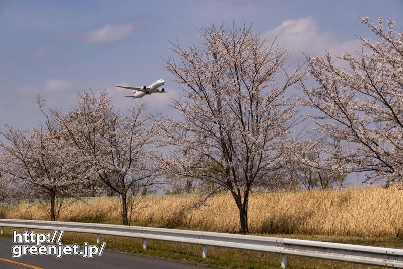 成田で飛行機~桜並木の向こうから上昇