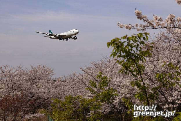 成田で飛行機~桜とキャセイカーゴのジャンボ