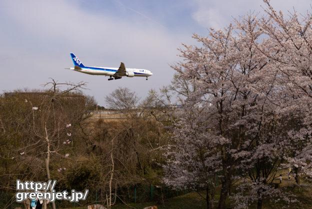 成田で飛行機~桜に飛び込む飛行機を後ろから