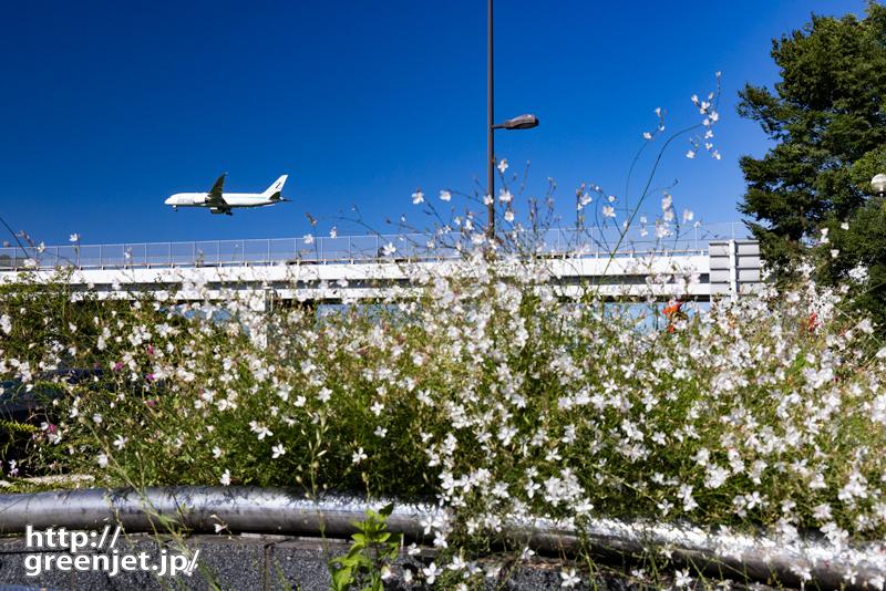 成田で飛行機~道端の白い花とB787